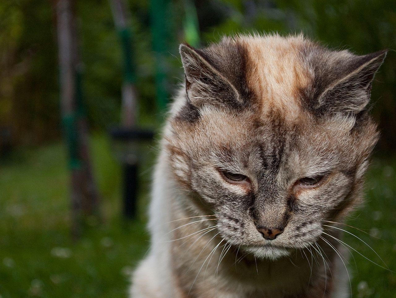 Kedilerde Yaşlılık Belirtileri