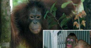 Seks Kölesi Olarak Kullanılan Orangutan Pony'nin Kurtuluş Öyküsü