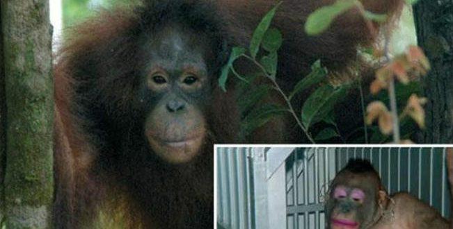 Seks Kölesi Olarak Kullanılan Orangutan Pony'nin Kurtuluş Öyküsü 42