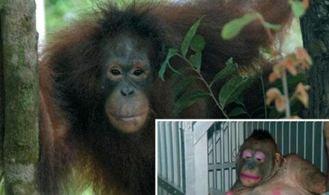 Seks Kölesi Olarak Kullanılan Orangutan Pony'nin Kurtuluş Öyküsü 66