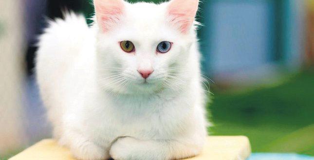 c4d8bfe5b2 Van Kedisi Hakkında Bilmedikleriniz – Ukala Hayvan