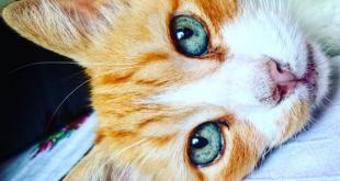 Kedilerin Göz Rengi Hakkında İlginç Gerçekler