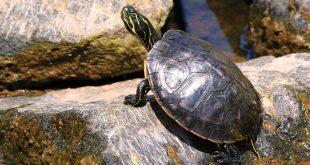 Boş Havuza Terk Edilen Kaplumbağalar Öldü