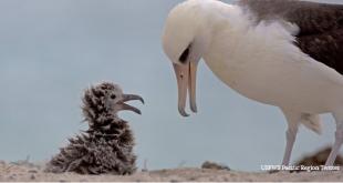 Dünyanın Bilinen En Yaşlı Albatrosu Anne Oldu