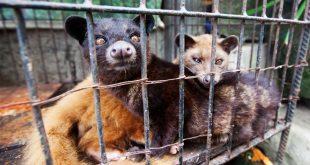 Palmiye Misk Kedileri Dünyanın En Pahalı Kahvesi İçin Tutsak Ediliyor