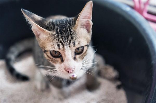 Kedilerin Kum Kabı Dışına Çiş Yapmasının 5 Nedeni