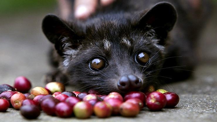 Palmiye Misk Kedileri Dünyanın En Pahalı Kahvesi İçin Tutsak Ediliyor 2
