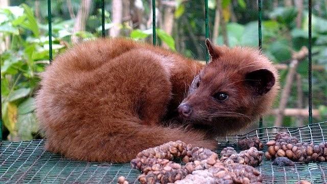 Palmiye Misk Kedileri Dünyanın En Pahalı Kahvesi İçin Tutsak Ediliyor 77