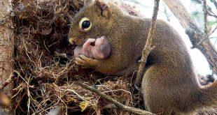 Sincaplar Öksüz Kalan Yavru Sincapları Evlat Ediniyor