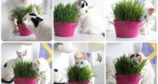 Evde Kedi Çimi Yapımı