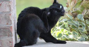 Pirelerden Kedilere Bulaşan Hastalıklar