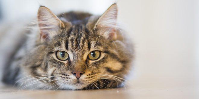Kısırlaştırılmayan Kedileri Bekleyen Tehlikeler