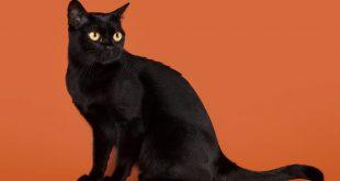 Küçük Kara Panter Bombay Kedisi Ve Harika Özellikleri