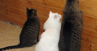 Kediler Neden Boş Duvara Bakar?