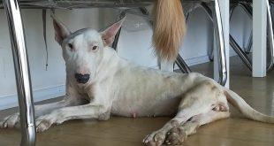 Yasa Dışı Üretimde Kullanılıp Hastalanınca Bir Yol Kenarına Atılan Bully Köpek