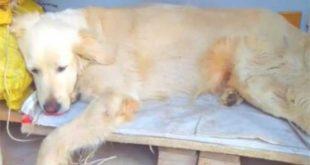 Belediye Başkanı Gelecek Diye Köyün Köpeklerini Uyuşturdular!
