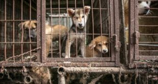Güney Kore'de Mahkeme Köpeklerin Eti İçin Öldürülemeyeceğine Karar Verdi