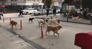 Saldırgan köpekler üzerine doktora yapan tek uzman: 'İletişim kurmayı bilmiyoruz'