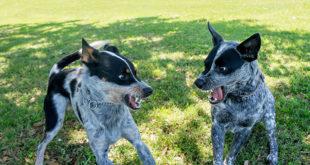 Köpek Kavgası: Köpekler Neden Kavga Eder?