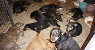 Kasırgadan Korumak İçin 97 Köpeğe Evini Açtı